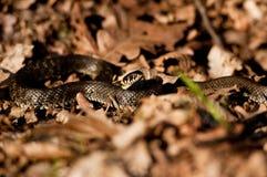Serpente de grama Fotografia de Stock