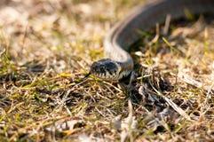 Serpente de grama 2 Imagens de Stock Royalty Free