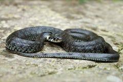 Serpente de grama Imagens de Stock