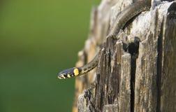 Serpente de grama Imagens de Stock Royalty Free
