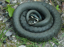 Serpente de grama (natrix do Natrix) Imagens de Stock