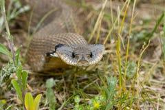 Serpente de Hognosed fotografia de stock royalty free
