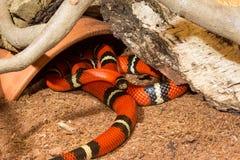 Serpente de leite de Sinaloan imagem de stock