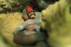 Serpente de leite do Honduran fotografia de stock