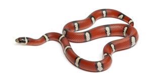 Serpente de leite ou milksnake, triangulum do Lampropeltis Imagens de Stock Royalty Free