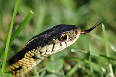 Serpente de liga Foto de Stock