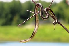 Serpente de liga Imagens de Stock Royalty Free