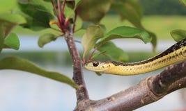 Serpente de liga Foto de Stock
