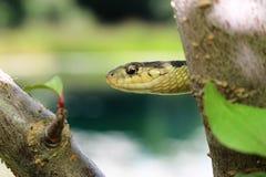 Serpente de liga Imagem de Stock Royalty Free