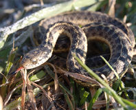 Serpente de liga na grama Imagens de Stock