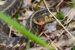 Serpente de liga (sirtalis do Thamnophis) Foto de Stock Royalty Free