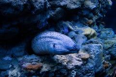 Serpente de mar de Murena Imagens de Stock