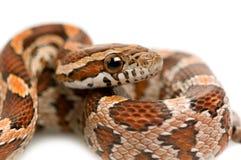 Serpente de milho imagens de stock royalty free