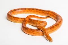 Serpente de milho Imagem de Stock Royalty Free