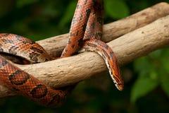 Serpente de milho alaranjada Imagem de Stock
