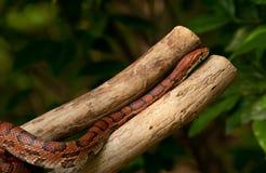 Serpente de milho alaranjada Fotos de Stock Royalty Free