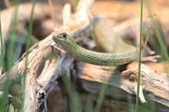 Serpente de Montpellier Fotografia de Stock Royalty Free