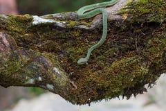 Serpente de Pitviper do verde do ` s do papa foto de stock royalty free