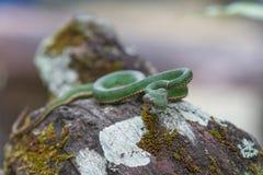 Serpente de Pitviper do verde do ` s do papa fotos de stock