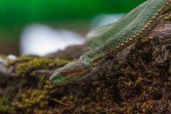 Serpente de Pitviper do verde do ` s do papa imagens de stock royalty free