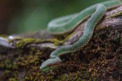 Serpente de Pitviper do verde do ` s do papa imagem de stock