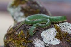Serpente de Pitviper do verde do ` s do papa imagem de stock royalty free
