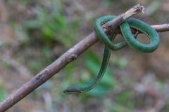 Serpente de Pitviper do verde do ` s do papa fotografia de stock royalty free