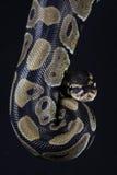 Serpente de Pythonball Imagens de Stock