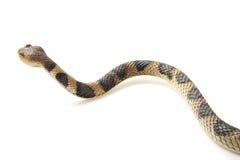 Serpente de rastejamento Foto de Stock