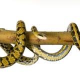 Serpente de rato imagem de stock