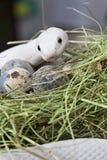 Serpente de rato de Texas no ninho de um pássaro fotografia de stock