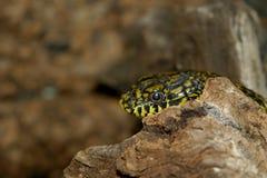 Serpente de rato do rei ou deusa tresandando Fotografia de Stock Royalty Free