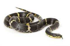 Serpente de rato do russo Fotografia de Stock