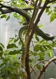 Serpente de rato em uma árvore fotos de stock royalty free