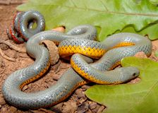 Serpente de Ringneck da pradaria, arnyi do punctatus do Diadophis imagem de stock royalty free