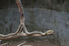 Serpente de Sundarvan imagens de stock
