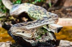 Serpente de tigre Imagem de Stock