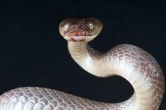 Serpente de tigre preta Fotografia de Stock