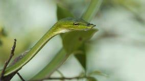 Serpente de videira asiática vídeos de arquivo