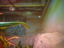 A serpente de videira verde imagens de stock