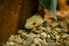 Serpente de Yelow nos animais selvagens do jardim zoológico no jardim zoológico Itália do safari do apulia de Fasano fotografia de stock