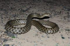 Serpente dei dadi (tassellata del Natrix) Fotografia Stock