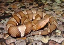 Serpente dei Trasporto-PECO Copperhead Fotografie Stock Libere da Diritti