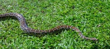 Serpente del boa constrictor fotografia stock