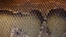 Serpente del boa dell'albero di Amazon stock footage