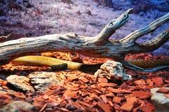 Serpente del Brown Fotografia Stock