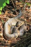 Serpente del Cottonmouth nella palude Fotografie Stock
