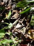Serpente del giardino Fotografia Stock Libera da Diritti