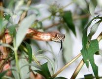 Serpente del maiale Fotografia Stock