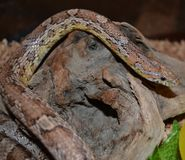 Serpente del mais Fotografie Stock